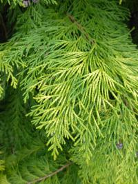 Cypřišek Lawsonův 'Golden Wonder' (Chamaecyparis lawsoniana)