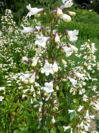Dračík (Penstemon digitalis)