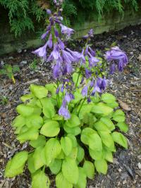 Hosta  'Hydon Sunset' - funkia