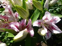 Lilie 'Solution' (Lilium x hybridum)