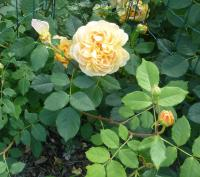 Rosa  'Golden Celebration' - ruža