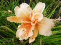 Hemerocallis   'Double Dream'  ľaliovka kvety