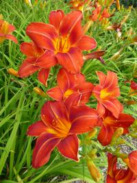 Denivka 'Chicago Fire' (Hemerocallis hybrida)