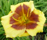 Denivka 'Blackberry Candy' - květ (Hemerocallis hybrida)