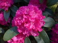 Rhododendron     'Lipnice'  rododendron kvety