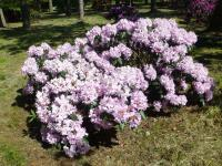 Rhododendron 'Rose Marie'  rododendron rastlina