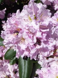 Rhododendron     'Rose Marie'  rododendron kvety