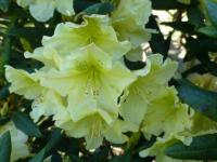 Rhododendron   'Prof. Scholz'  rododendron kvety