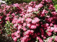 Rhododendron  'Anuschka' - rododendron