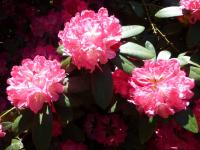 Rhododendron    'Anuschka'  rododendron kvety