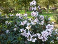 Rhododendron 'Hyperion'  rododendron rastlina