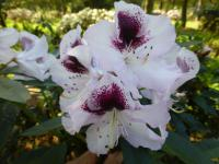 Rhododendron    'Hyperion'  rododendron kvety