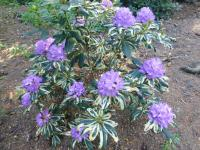 Rhododendron  'Carolina Spring' - rododendron
