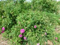 Rosa  'Belle de Crecy' - ruža