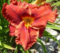 Hemerocallis     'Suddenly It's Autumn'  ľaliovka kvety