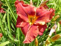Hemerocallis   'Suddenly It's Autumn' - ľaliovka