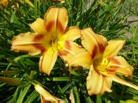 Hemerocallis  'Tiger Eye Hager' - ľaliovka