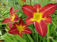 Denivka 'David Cox' (Hemerocallis hybrida)