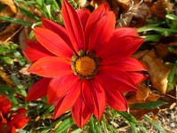 gazánia Gazania rigens  'Kiss Frosty Red'