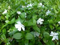 Vinca minor  'White Power' - zimozeleň menšia