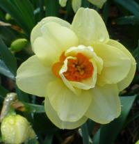 Narcissus        'Double Fashion'  narcis kvety