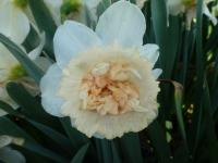 Narcissus    'Petit Four'  narcis kvety