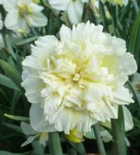 narcis Narcissus  'Ice King'