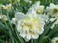 Narcissus           'Ice King'  narcis kvety