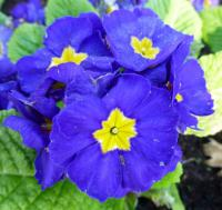 Prvosenka 'You and Me Blue' - květ (Primula x polyantha)