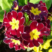 Prvosenka 'You and Me Maroon Laced' - květ (Primula x polyantha)