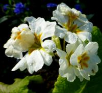 Prvosenka 'You and Me White' (Primula x polyantha)