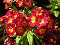 Prvosenka 'You and Me Red Laced' (Primula x polyantha)