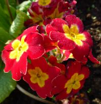 Prvosenka 'You and Me Red Laced' - květ (Primula x polyantha)