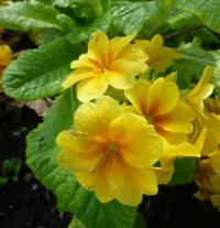 Primula x polyantha  'You and Me Golden'  prvosienka rastlina