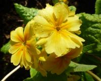 Primula x polyantha    'You and Me Golden'  prvosienka kvety