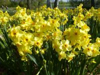narcis Narcissus  'Golden Dawn'