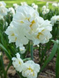 Narcissus      'Bridal Crown'  narcis kvety