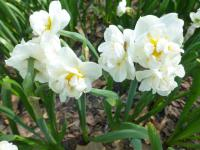 Narcissus  'Bridal Crown'  narcis rastlina