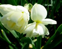 Narcissus     'Sir Winston Churchill'  narcis kvety
