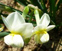Narcissus     'Cheerfulness'  narcis kvety