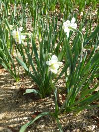 Narcissus 'Cheerfulness'  narcis rastlina
