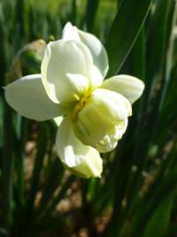 (Narcissus x hybridus) Narcis 'Cheerfulness'