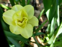 (Narcissus x hybridus) Narcis 'Yellow Cheerfulness'