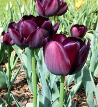 Tulipa      'Queen of Night'  tulipán rastlina
