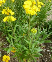 Chejr vonný 'Cloth of Gold' (Erysimum cheiri)