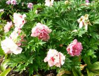 Pivoňka 'Hilliary' (Paeonia intersectional hybrid)