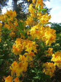 Rhododendron  'Goldpracht' - rododendron