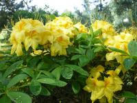 Rhododendron  'Golden Sunset' - rododendron