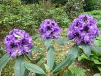 rododendron Rhododendron  'Blue Jungs'
