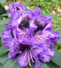 Rhododendron      'Blue Jungs'  rododendron kvety